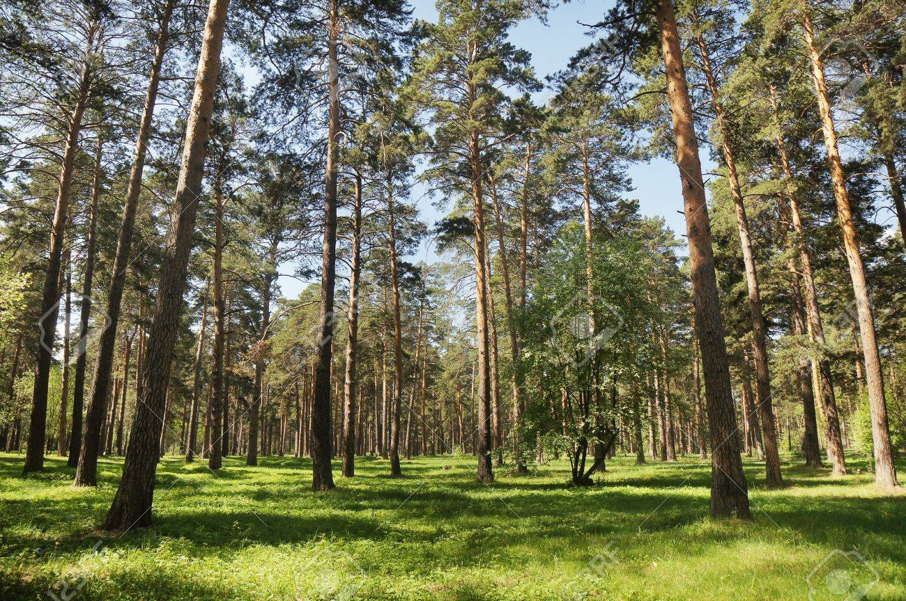 Beautiful summery pine forest Stock Photo - 13870278