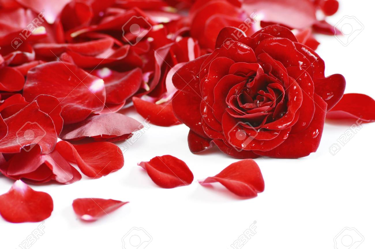 Red Rose And Rose Petals On White Background Flower With Water