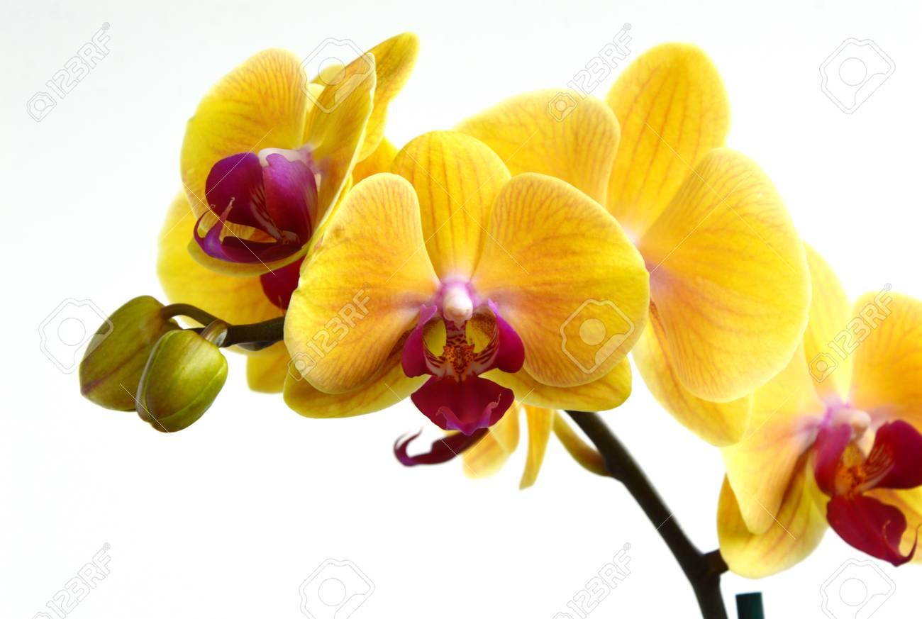 yellow phalaenopsis orchids on white background stock photo