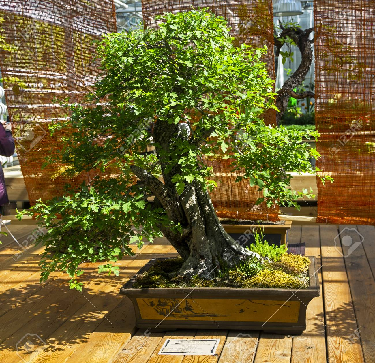 May Tree Crataegus Bonsai In The Style Of Straight And Free Stock Photo Picture And Royalty Free Image Image 81629602