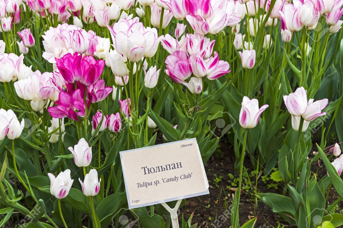 tulipe 123