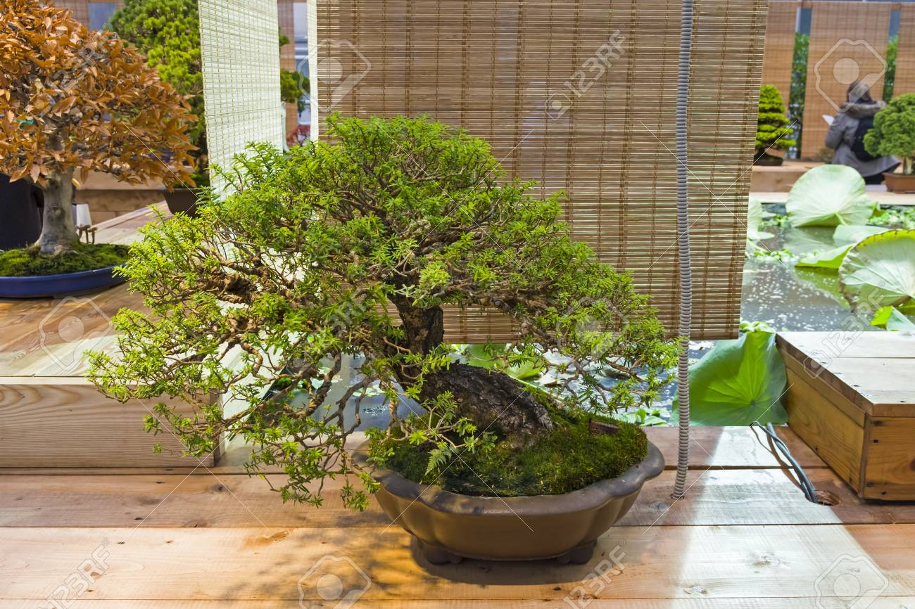 Bonsai Southern Japanese Hemlock Tsuga Sieboldii Age About Stock Photo Picture And Royalty Free Image Image 104624827