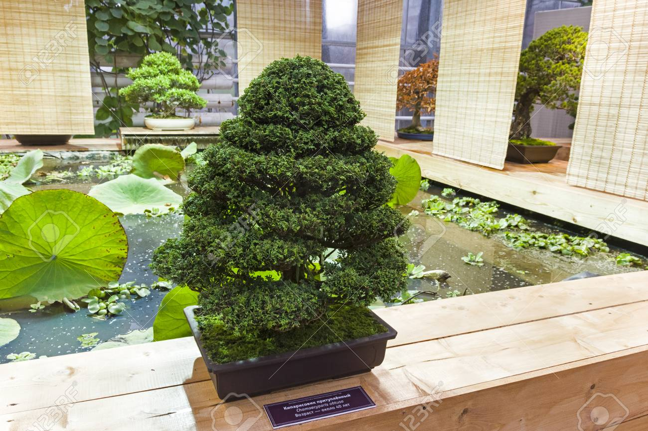 Bonsai Japanese Cypress Chamaecyparis Obtusa Age About Stock Photo Picture And Royalty Free Image Image 103138539