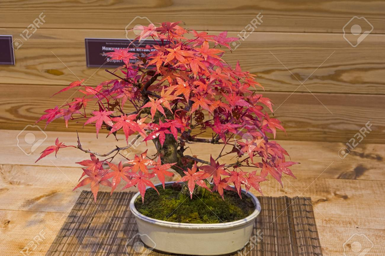 Bonsai Japanese Maple Acer Palmatum Age About 50 Years