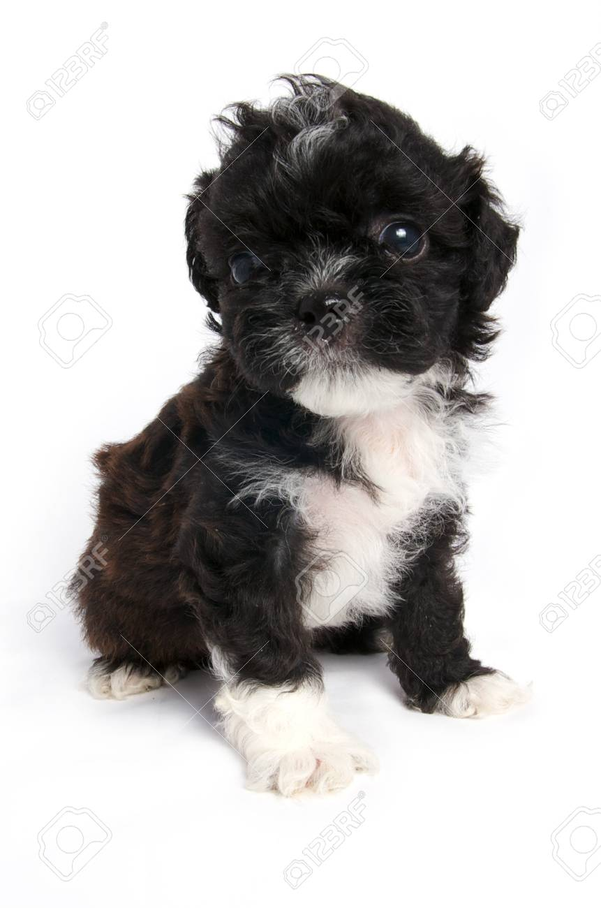 Little Shihtzu Puppy Cute Dog In Isolated Stock Photo Picture And Royalty Free Image Image 7396336