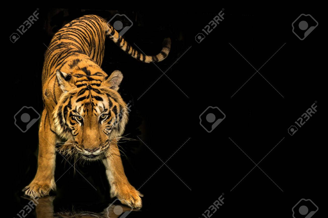 tiger walking black background stock photo, picture and royalty free