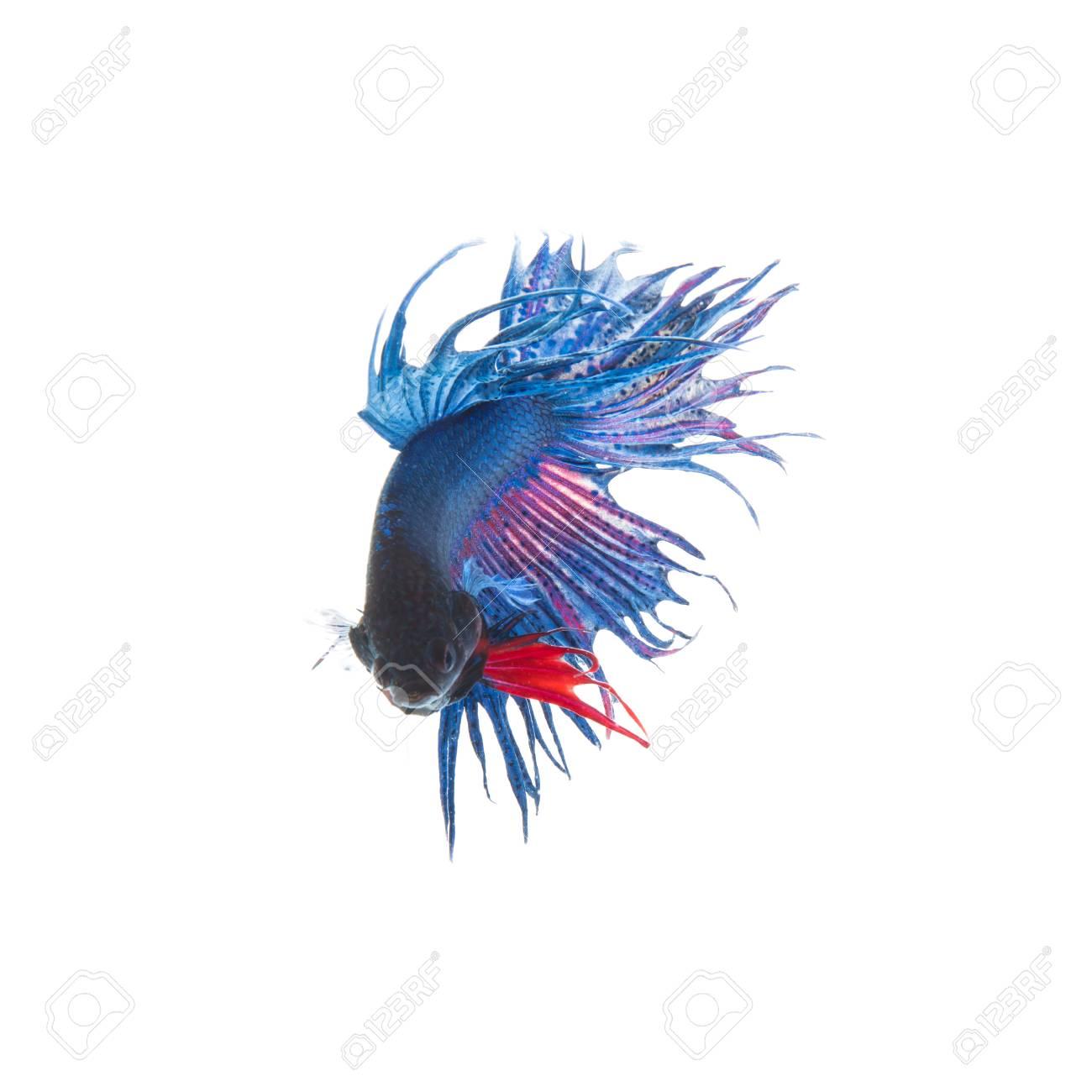 Immagini Stock Siamese Lotta Pesce Azzurro Betta Splendens