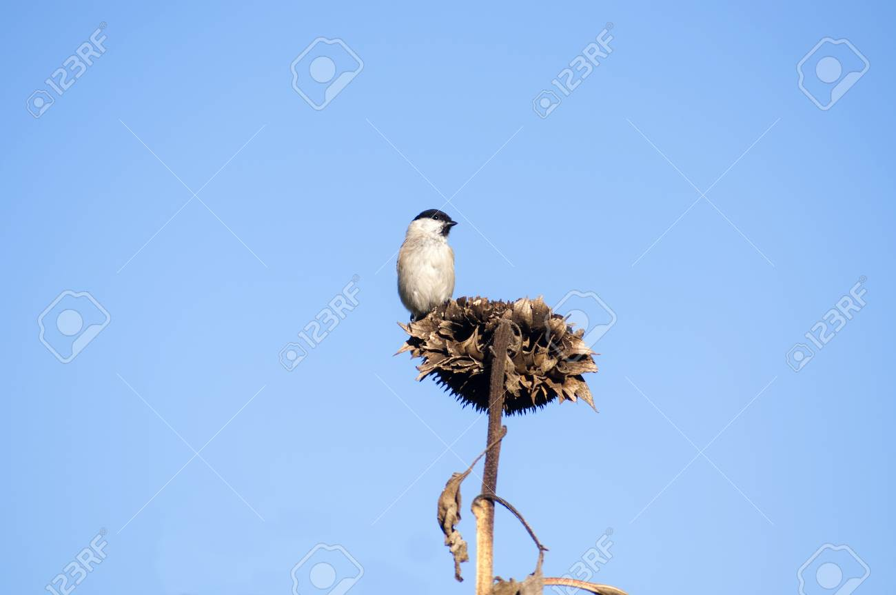 grey tit sitting on a dried sunflower Stock Photo - 17195280