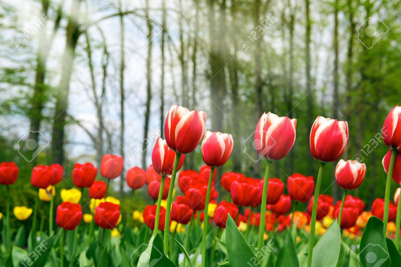 Tulips - beautiful spring flowers Stock Photo - 7465893