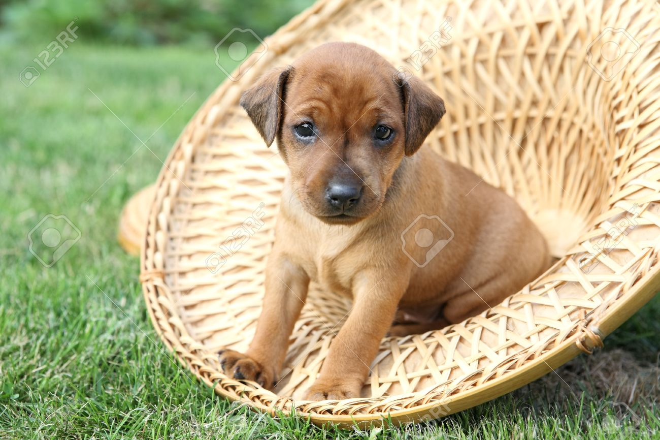 The Miniature Pinscher Puppies 1 Months Old Stock Photo Picture
