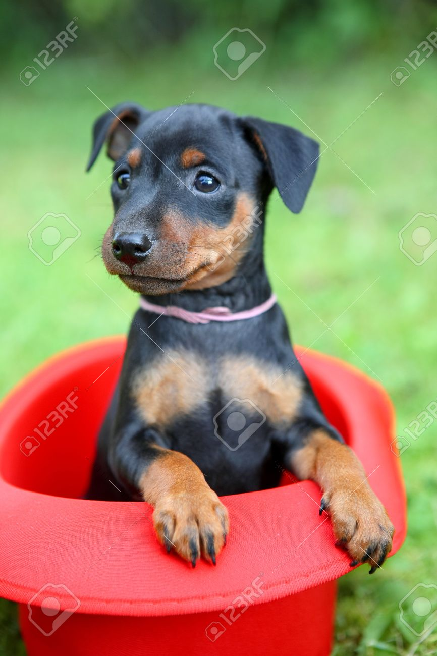 The Miniature Pinscher Puppy 15 Months Old Stock Photo Picture