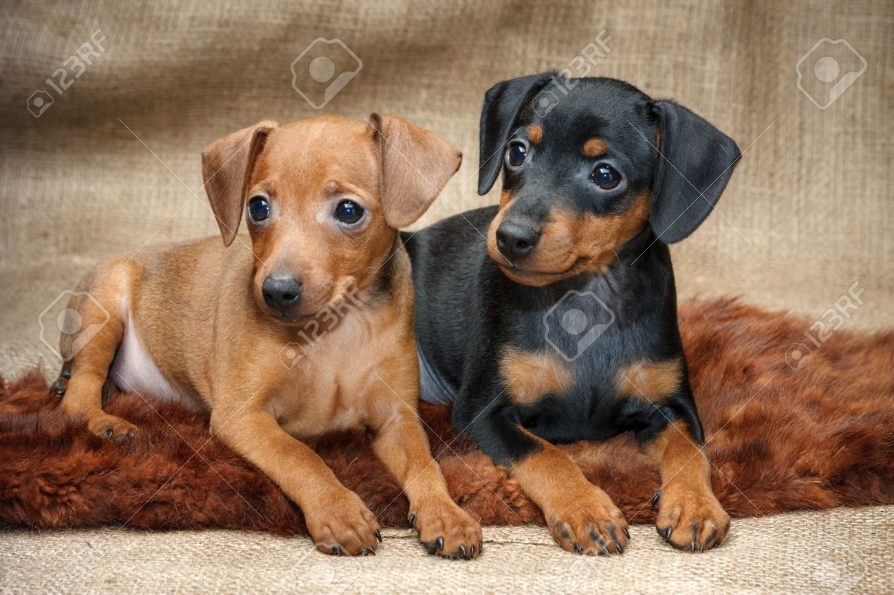 The Miniature Pinscher Puppies 2 Months Old Stock Photo Picture
