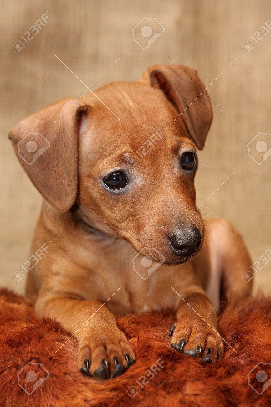 The Miniature Pinscher Puppy 2 Months 1 Week Old Stock Photo