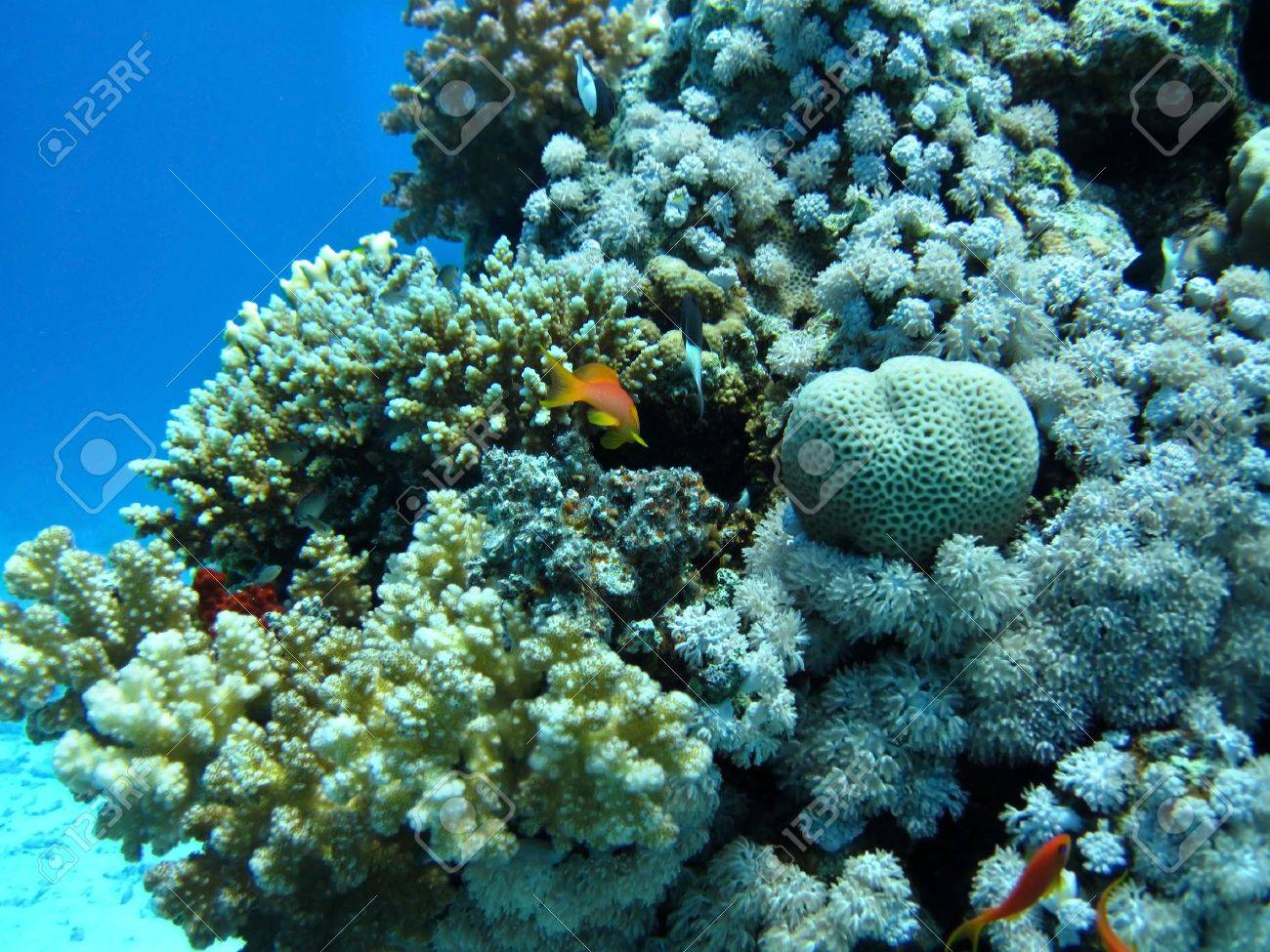 Group of coral in blue water. Snorkeling in Red sea. Stock Photo - 5633186