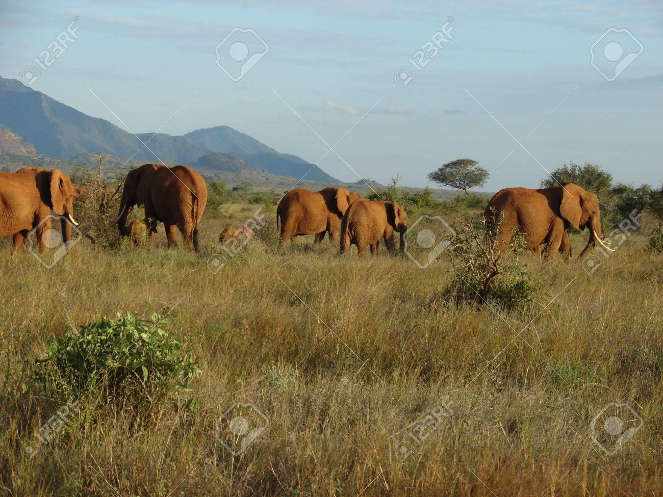 Elephants' migration through an african savanna. Tsavo National Park - Kenya Stock Photo - 3824111