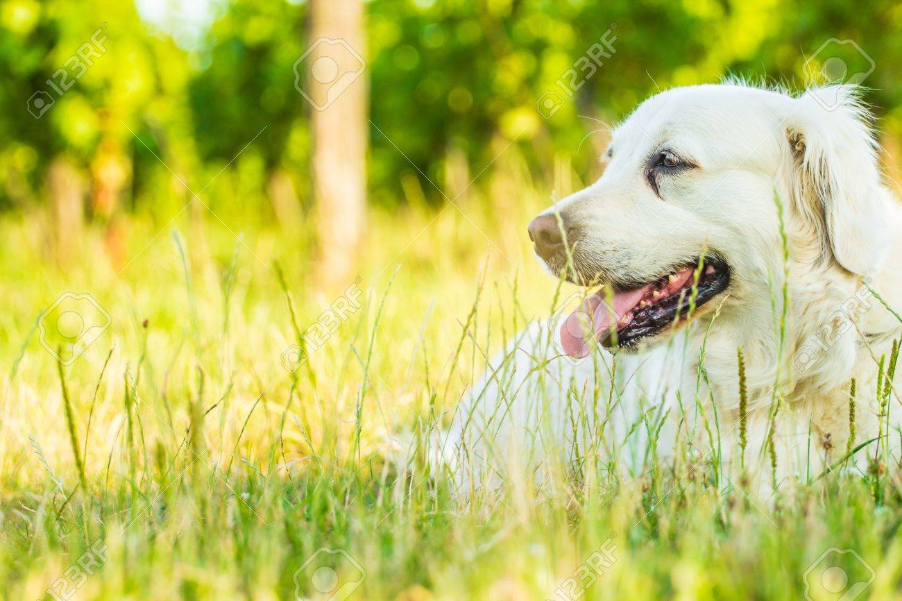 Golden retriever lying down on green grass during hot sunny day - 21071668