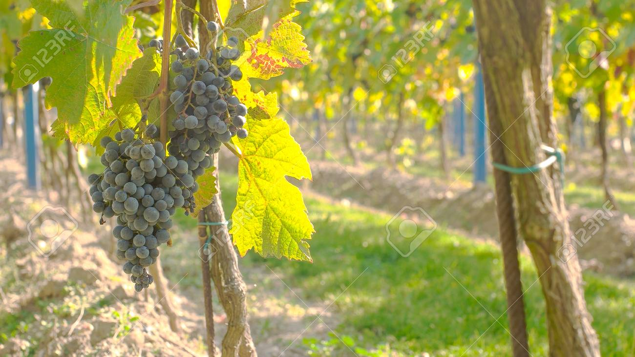 Wine grape hanging from the tree, tranquil scene - 56219573