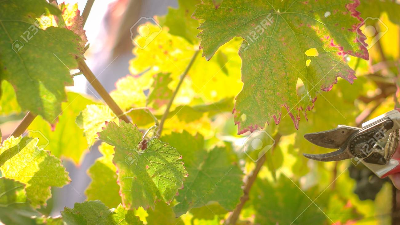 Wine tree leafs after harvesting season, shot during sunset - 56219575