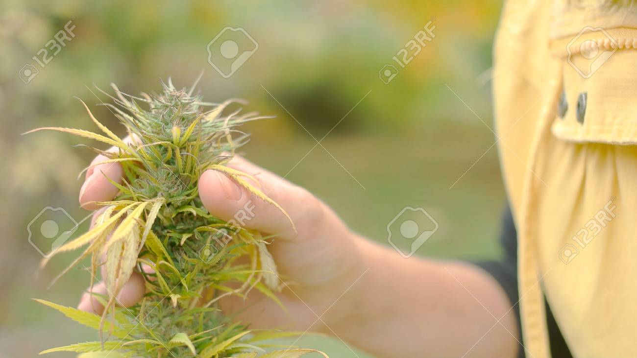 Young caucasian woman looking at the seeds of fully grown weed plant - 56219584