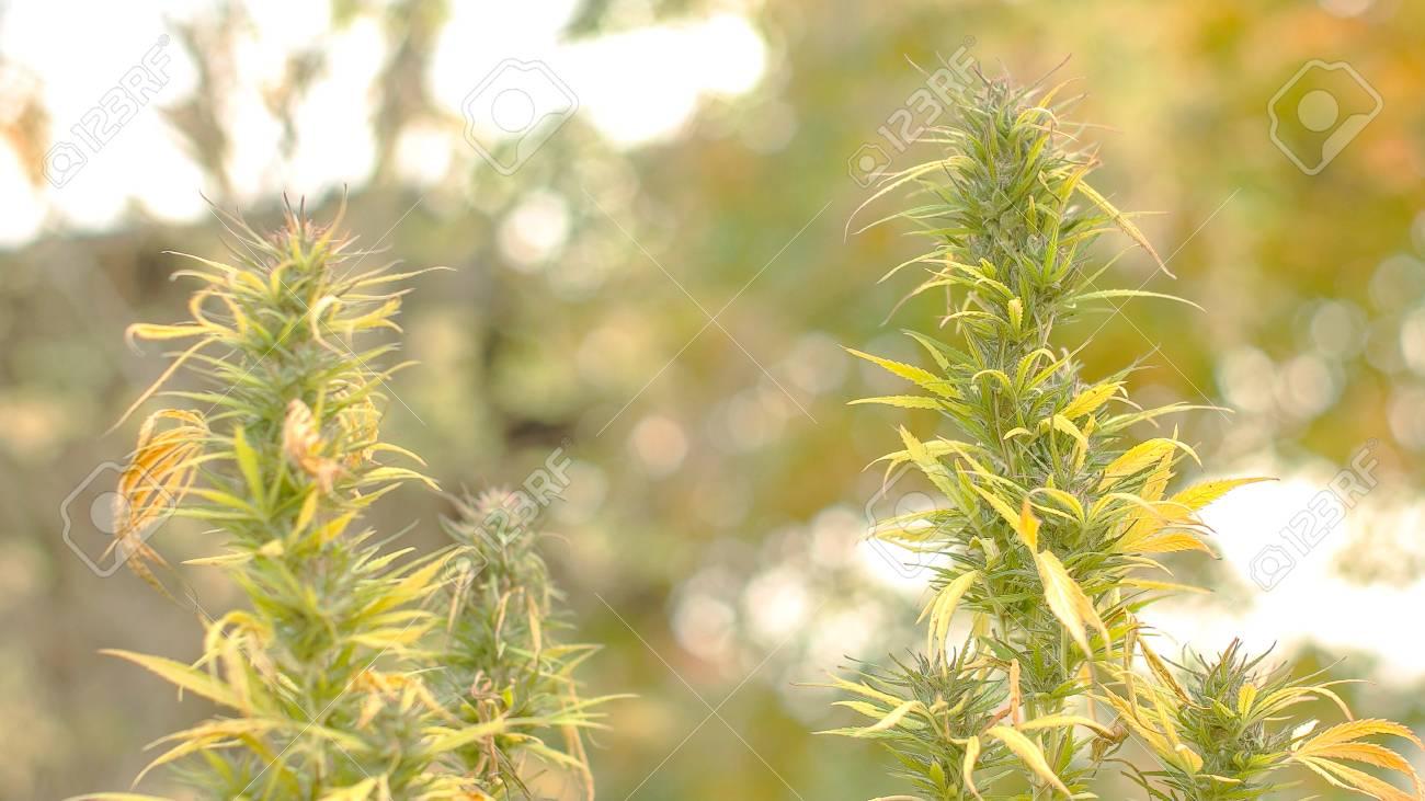 Static shot of Marijuana flower slowly swinging in the wind - 56219588