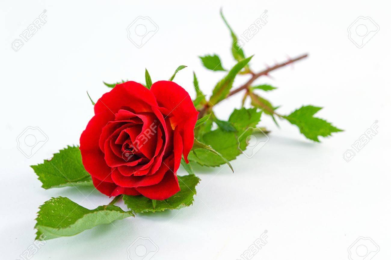 red rose - 13853125
