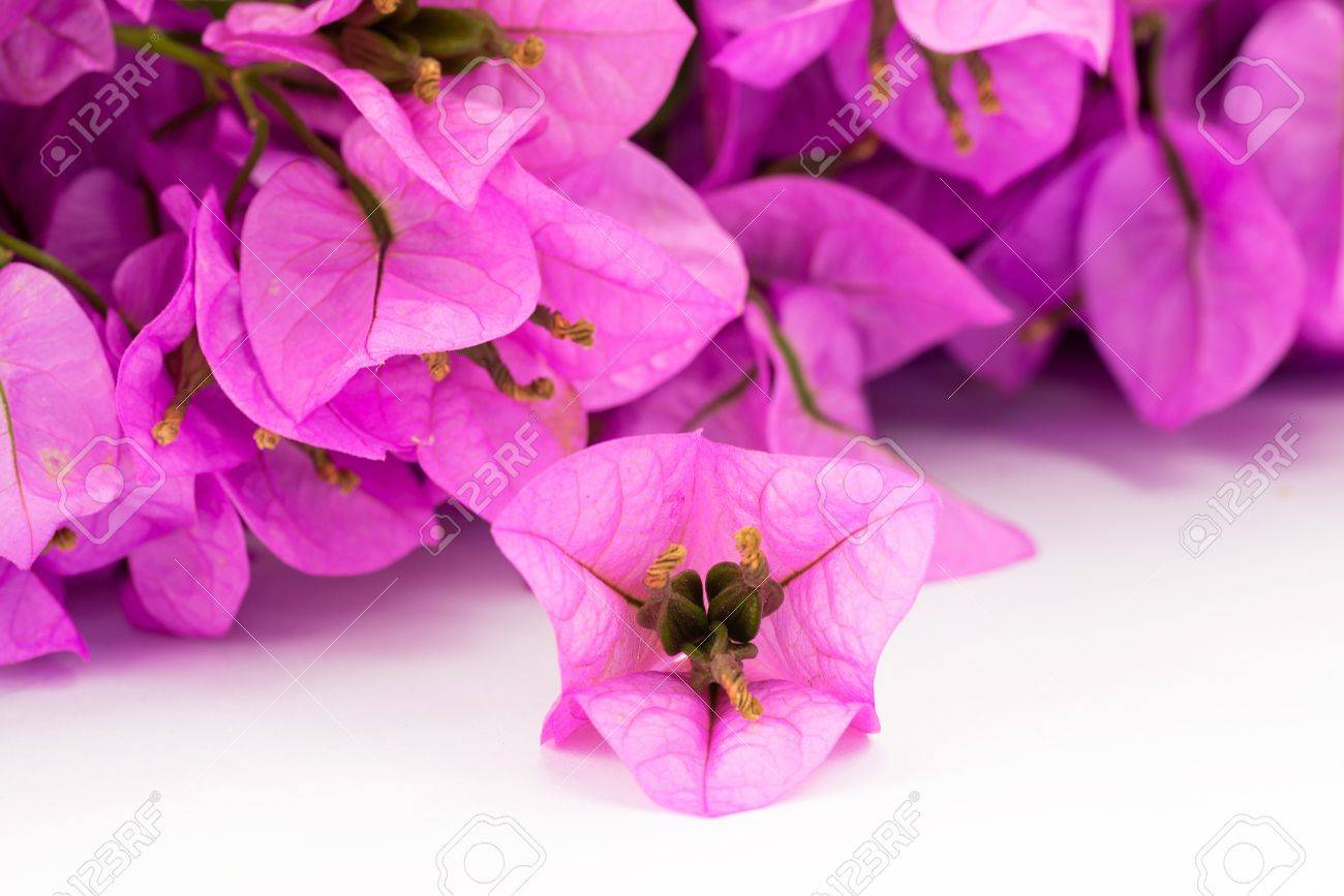 flowering bouganville - 14662590