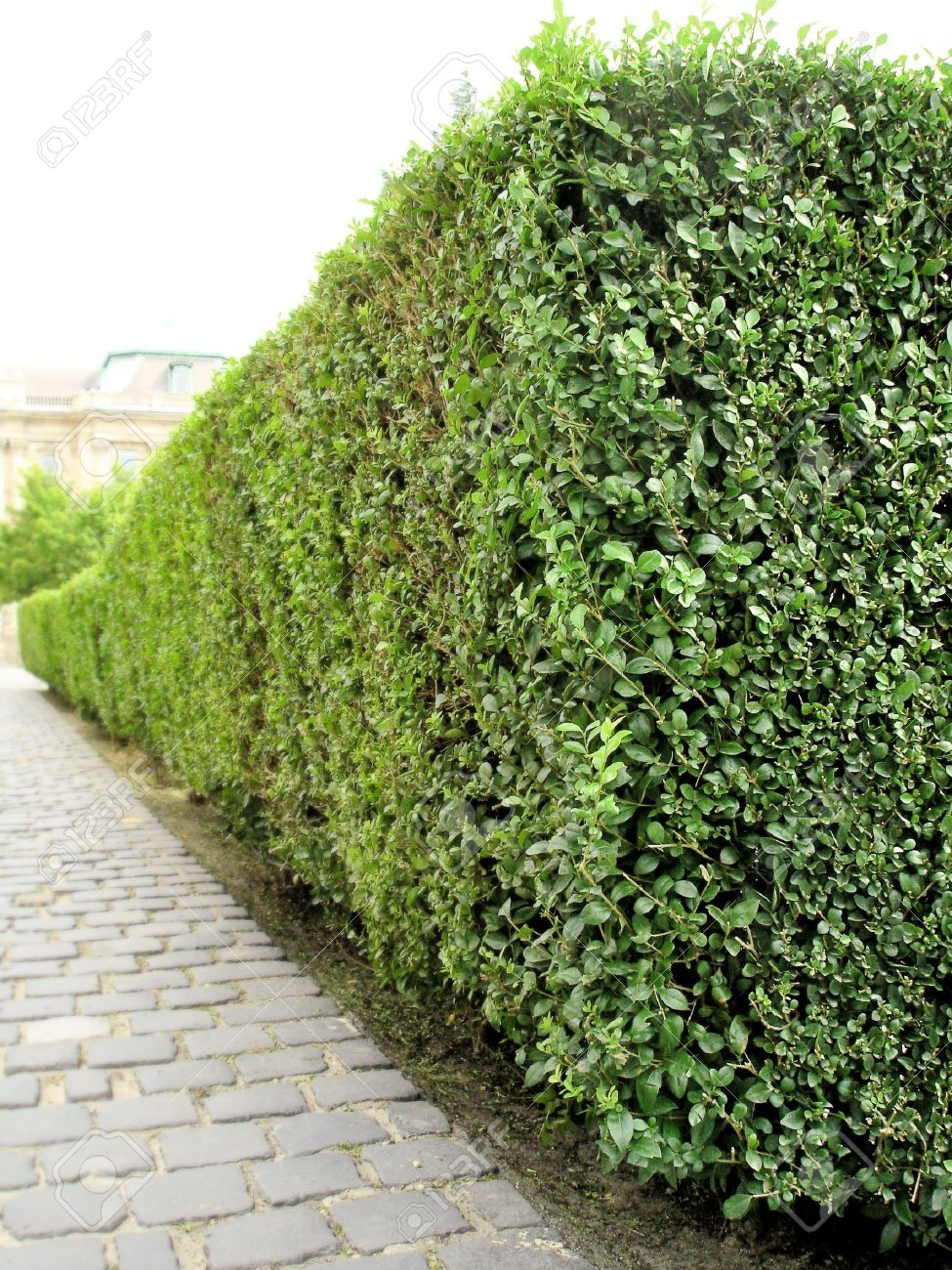 Marvelous Green Bush Garden Perspective Stock Photo   21608813