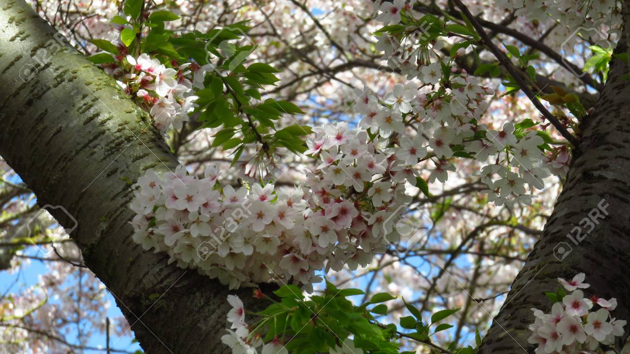 Pink and White Blossom on Blooming Trees - 100269010