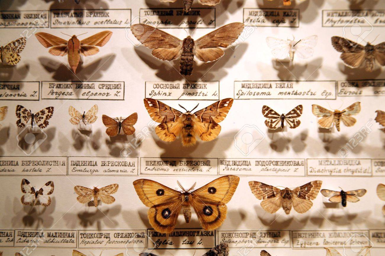 Collection Of Butterflies Is In The Museum Of Nature Stock Photo   3726165