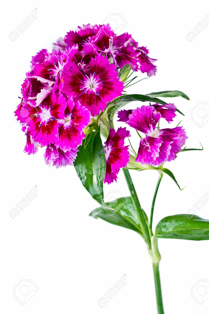 Purple sweet william flowers isolated on white background stock purple sweet william flowers isolated on white background stock photo 36288285 mightylinksfo
