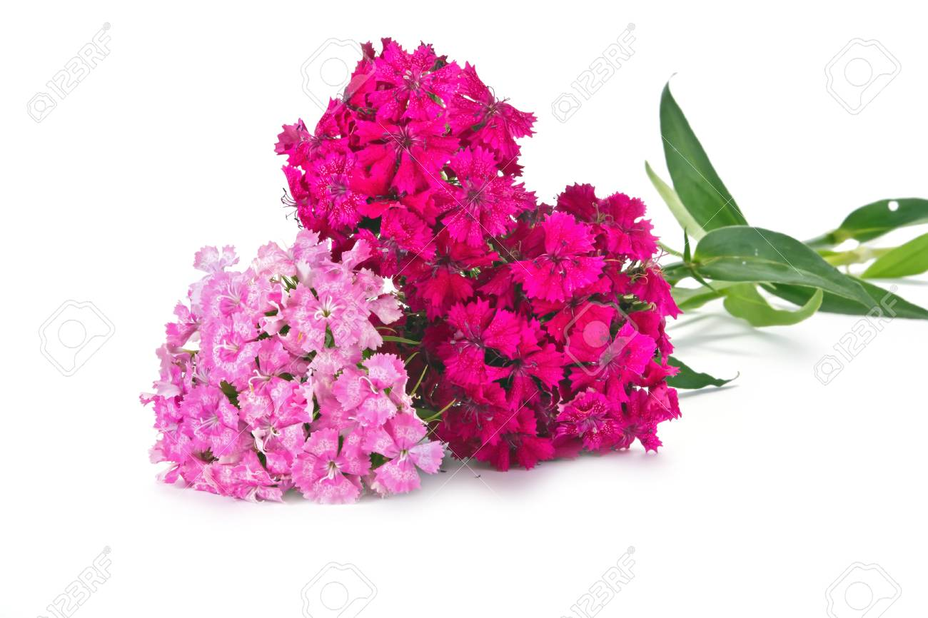 Garden Flower Sweet William By Close Up On A White Background Stock