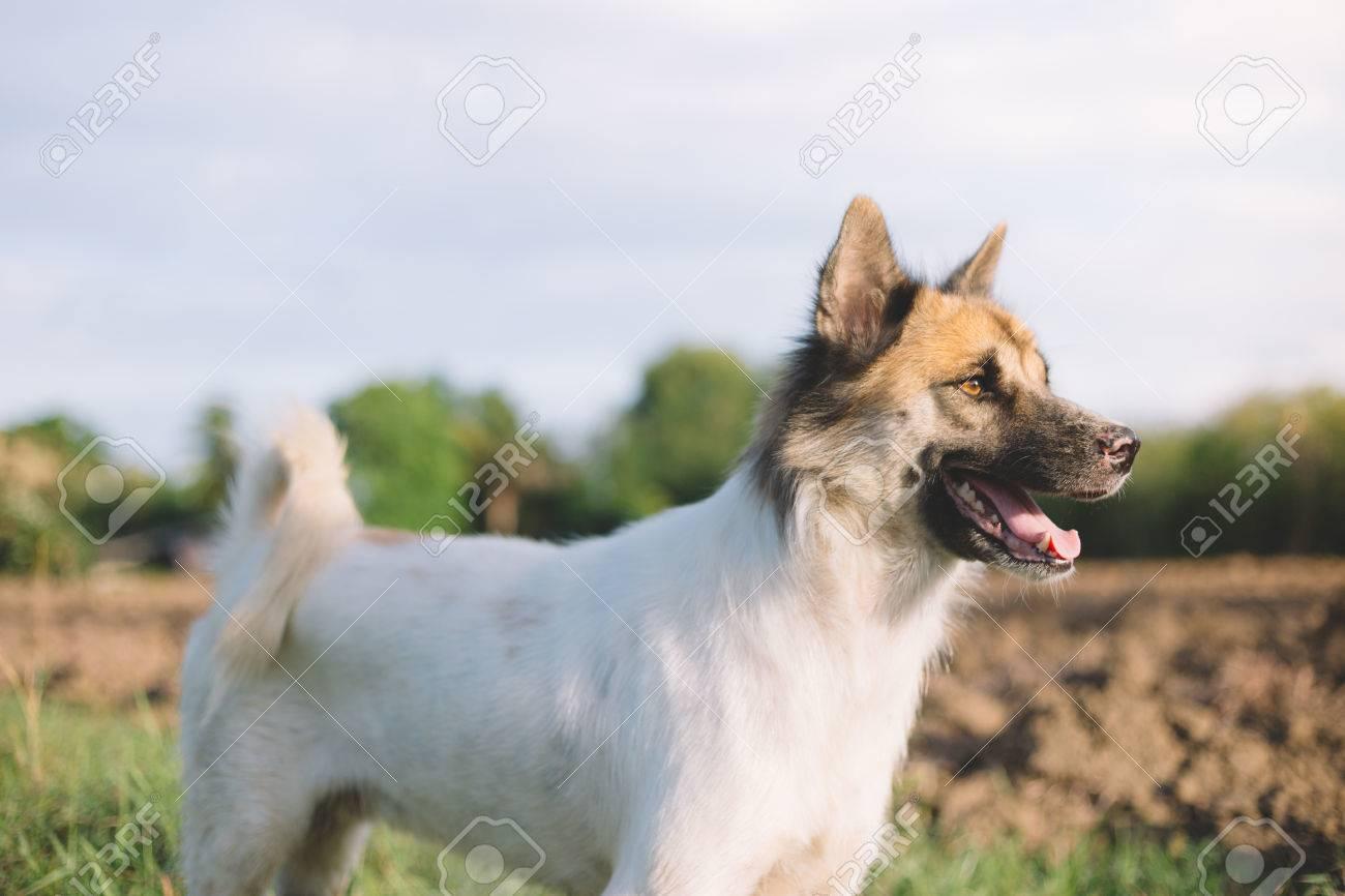 Thai dog portrait in garden. - 60536111
