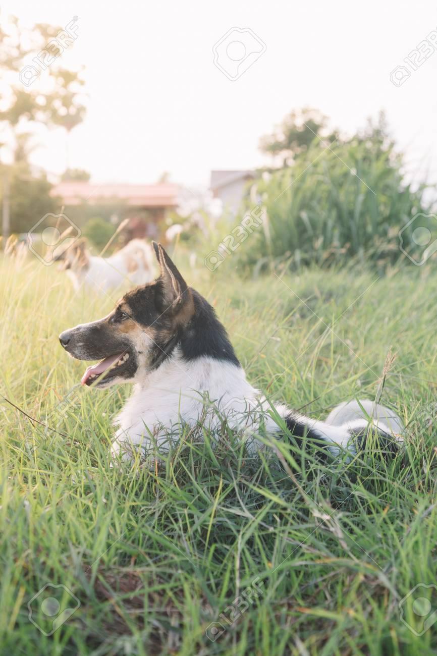 Thai dog in the garden. - 60536115