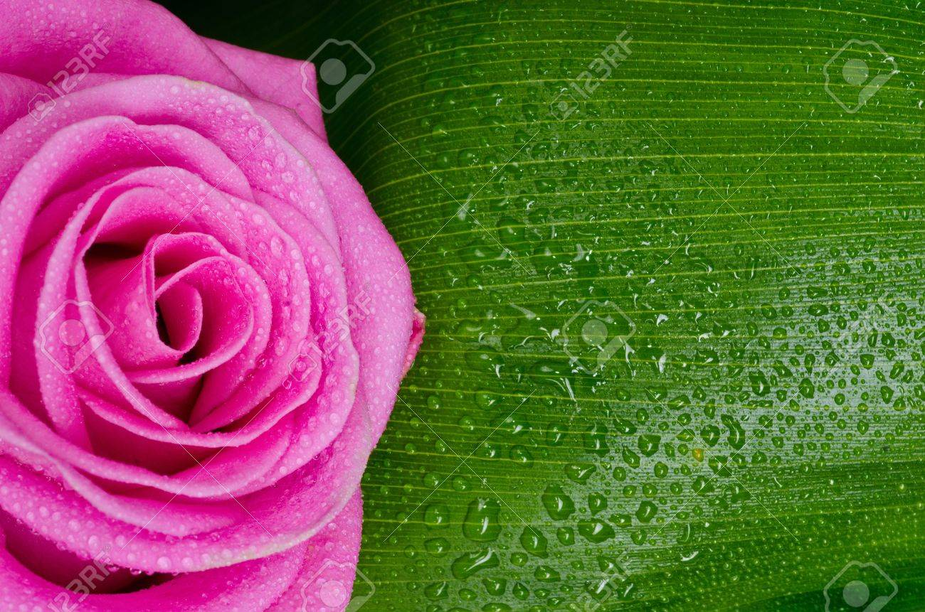pink rose adn green leave with drops Stock Photo - 13706735
