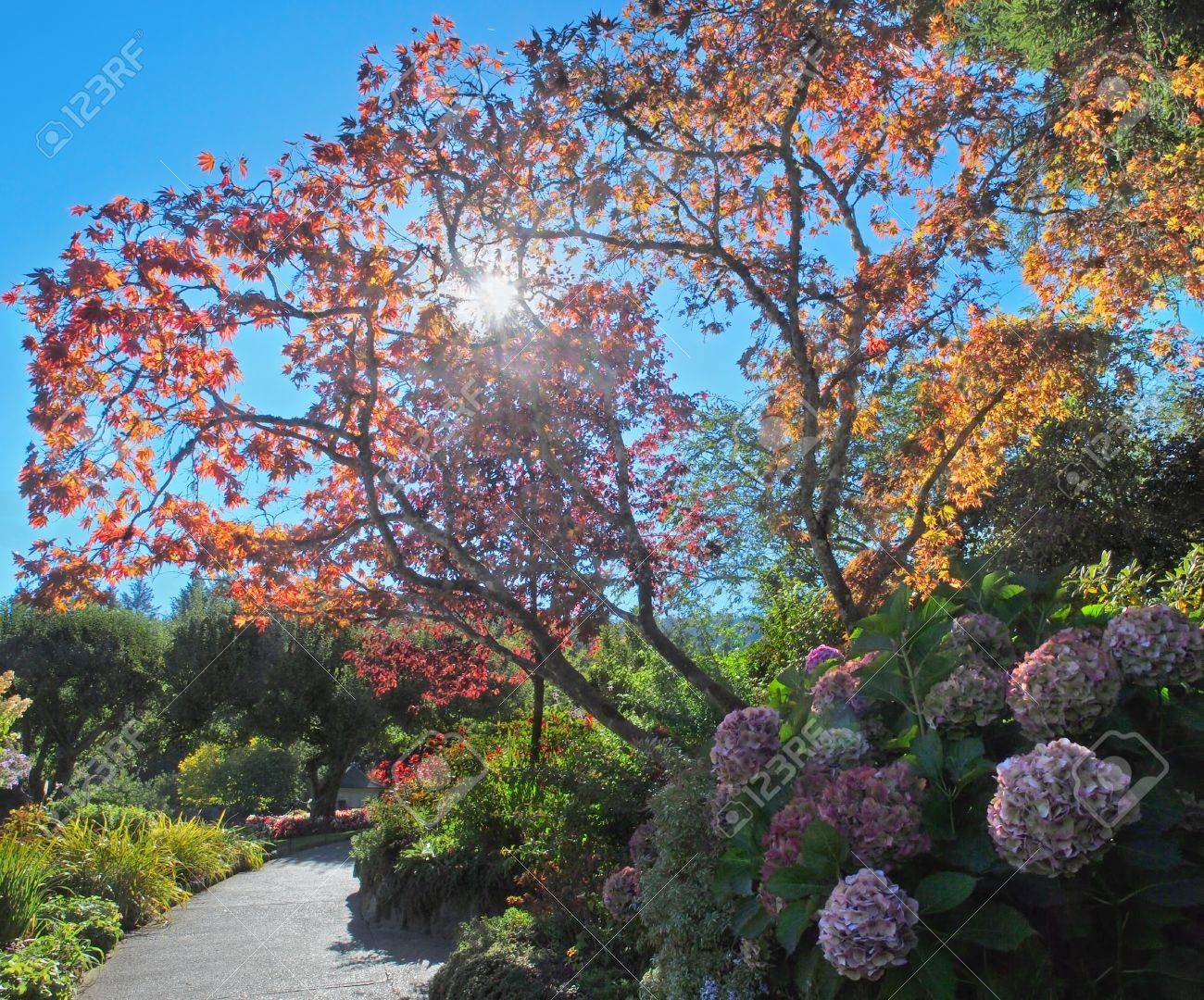 Garden Walkway By The Colorful Fall Trees And Bushes, Backlit ...