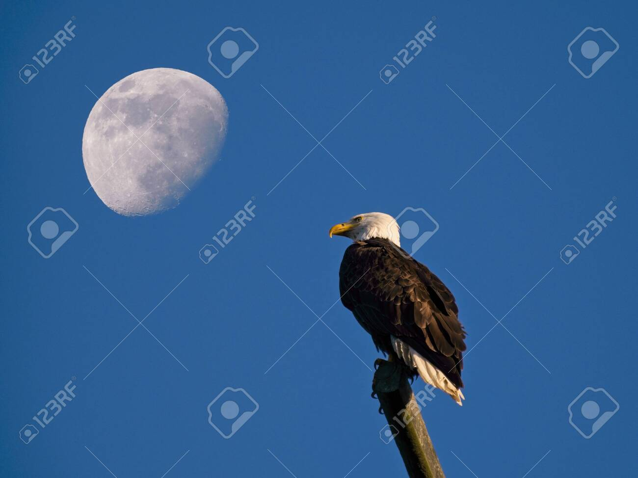 Bald eagle perching on the pole in Sidney BC, Vancouver Island, moon in the background - 149893864