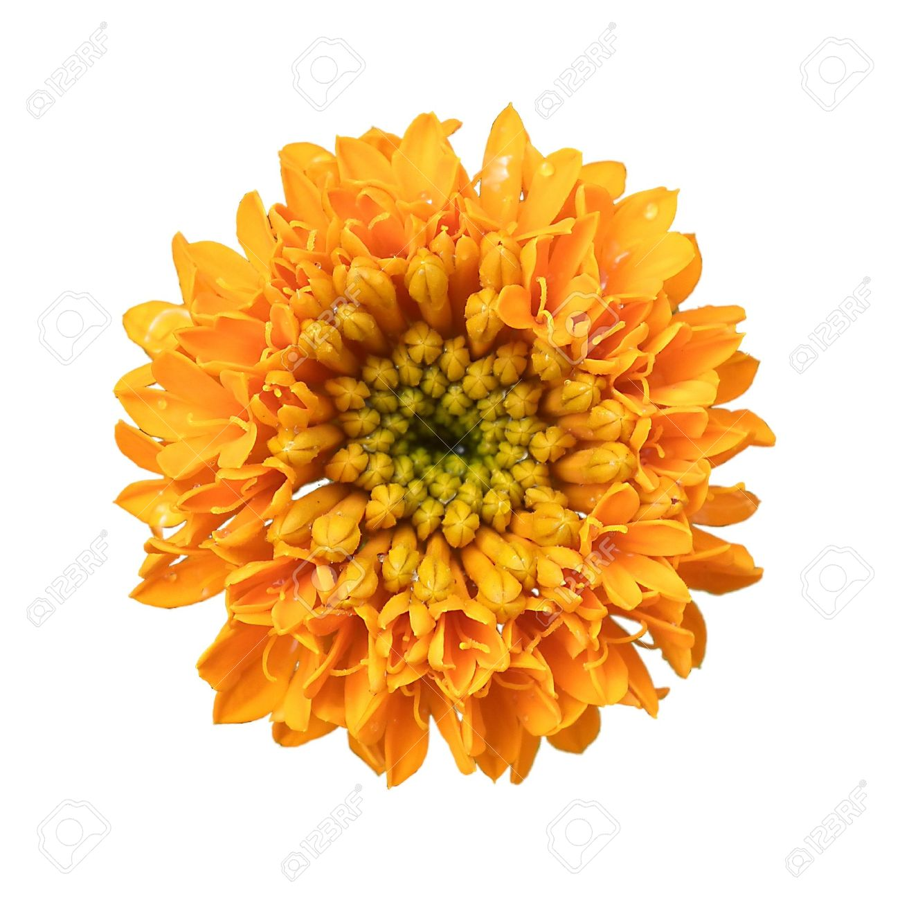 Marigold flowers are large on a white background stock photo marigold flowers are large on a white background stock photo 11575779 mightylinksfo
