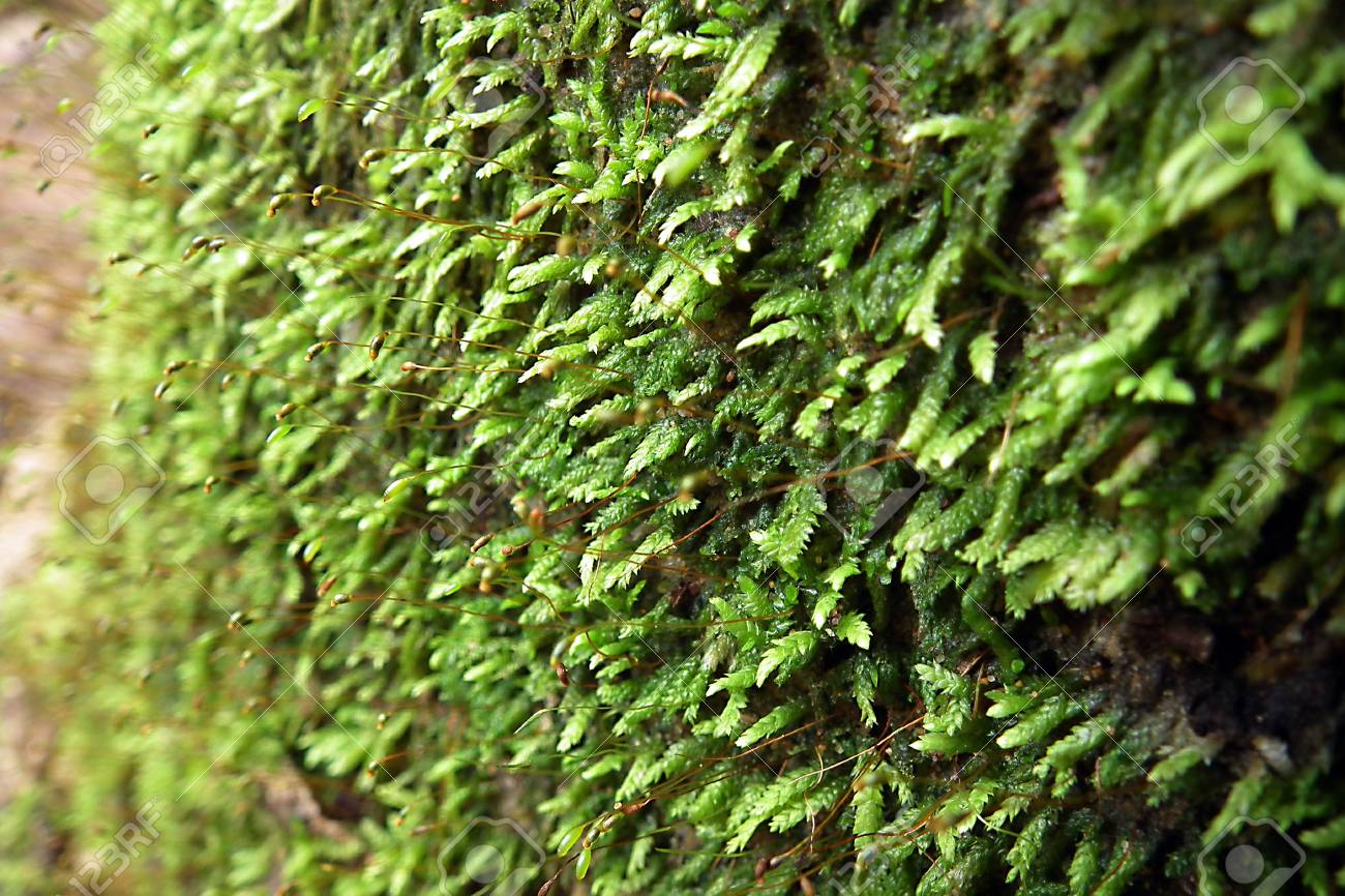 Moss on the  rubber tree , south of Thailand Stock Photo - 11575784