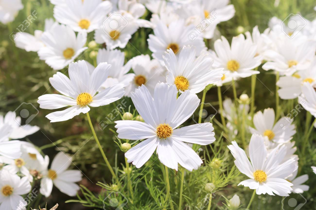 White Cosmos Flowers In The Garden Stock Photo Picture And Royalty