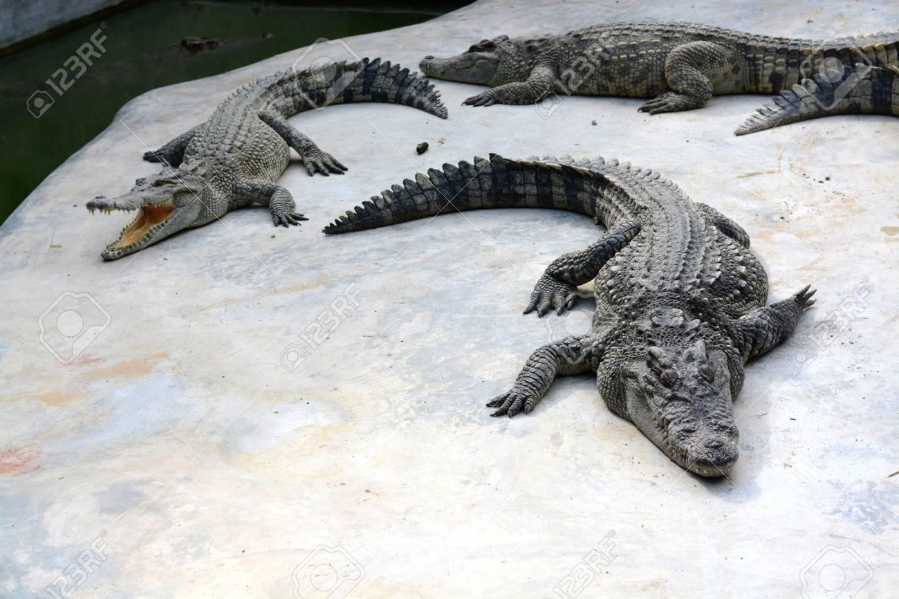 crocodile in farm Stock Photo - 21762080