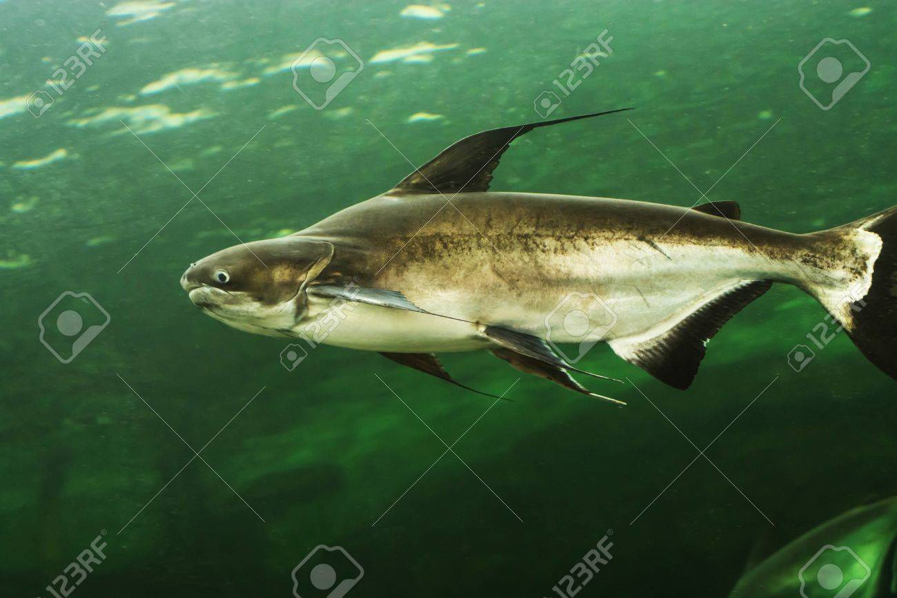 Mekong Catfish | Mekong Giant Catfish Stock Photo Picture And Royalty Free Image