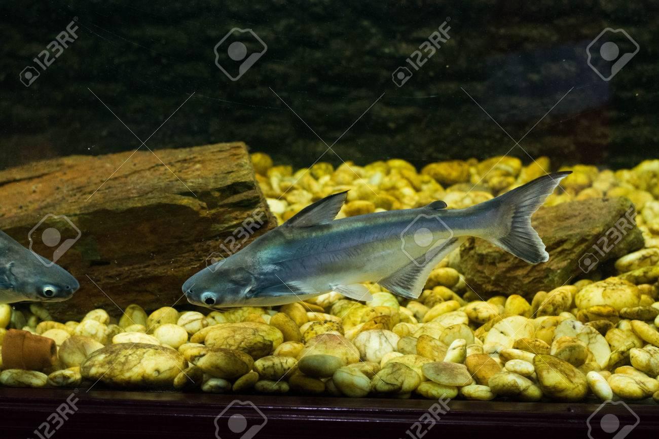 ベトナム語のバサ、バサ魚 ロイ...
