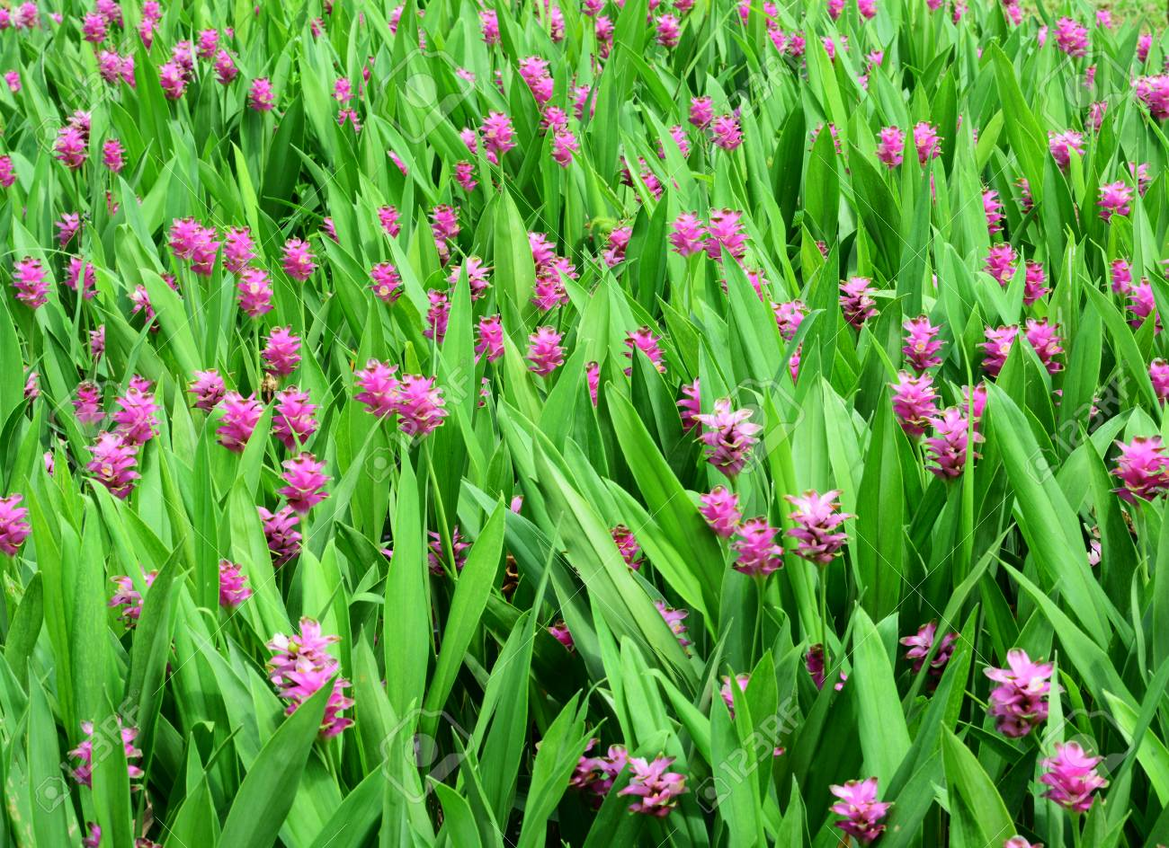 Field Of Pink Flowers Background Stock Photo Picture And Royalty