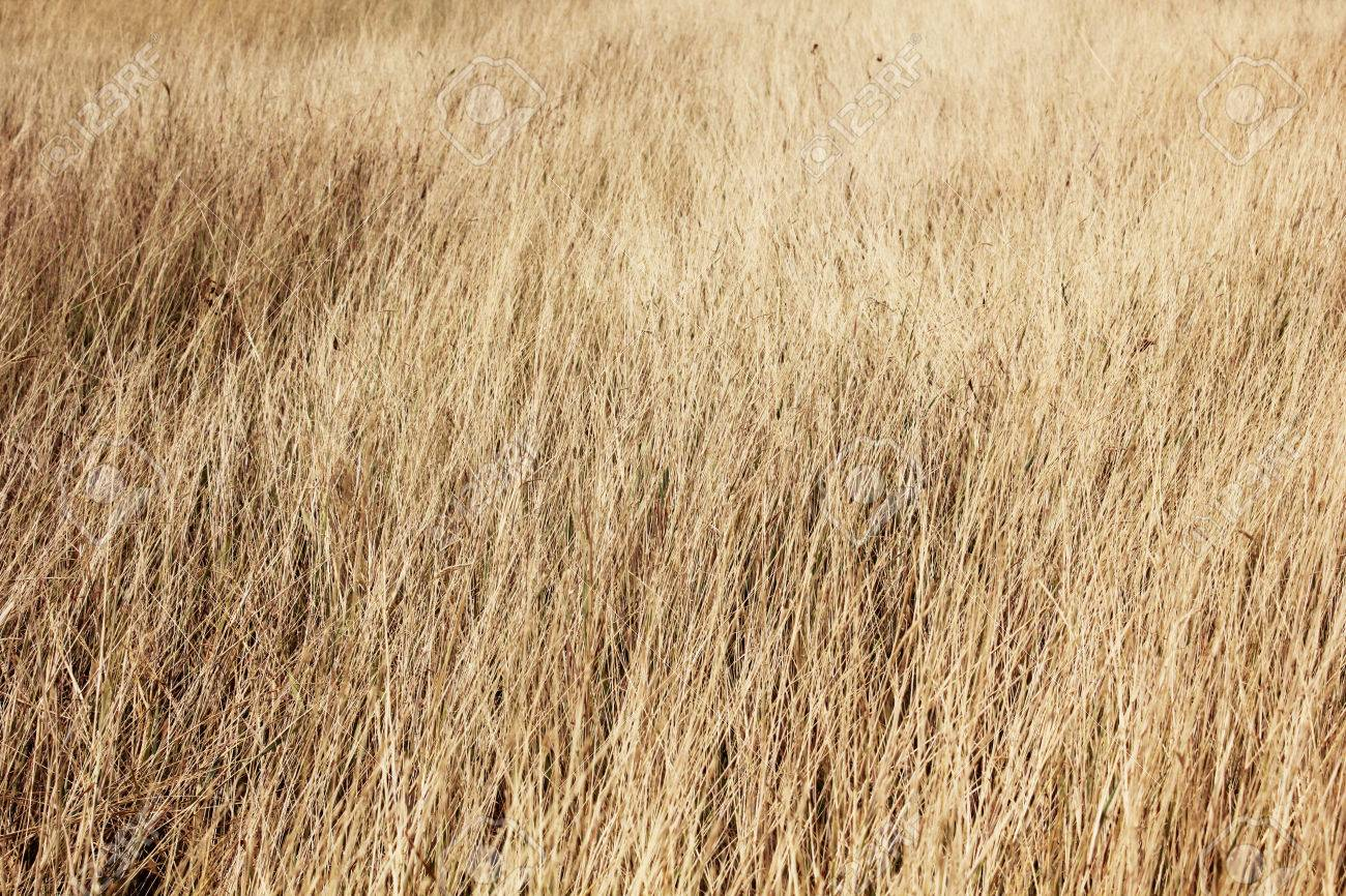 dry grass field background. Field Of Long Dry Grass Backgrounds Stock Photo - 57233396 Background U