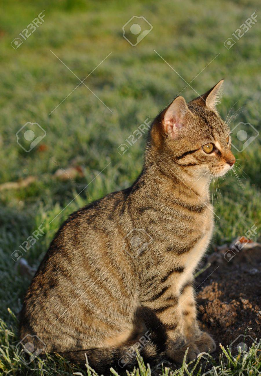 Tabby cat in the winter garden with hoarfrost Stock Photo - 11357419