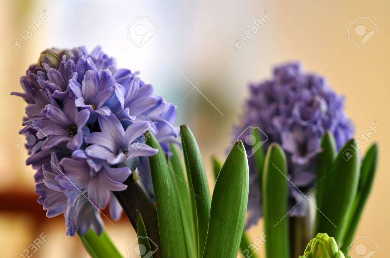 Flowering two blue hyacinth Hyacinthus at home in spring Stock Photo - 16031679
