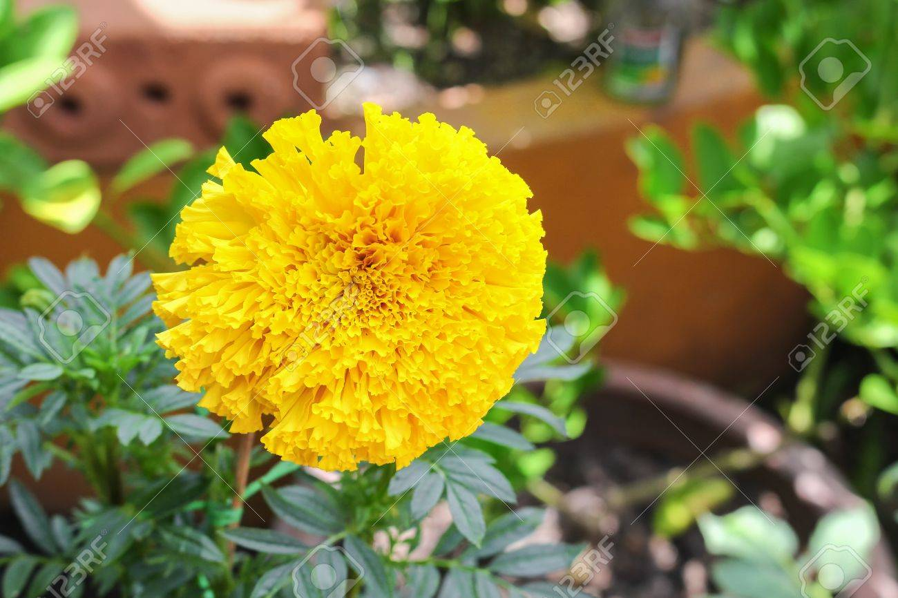 marigold yellow flowers. beautiful marigold india flower in the..