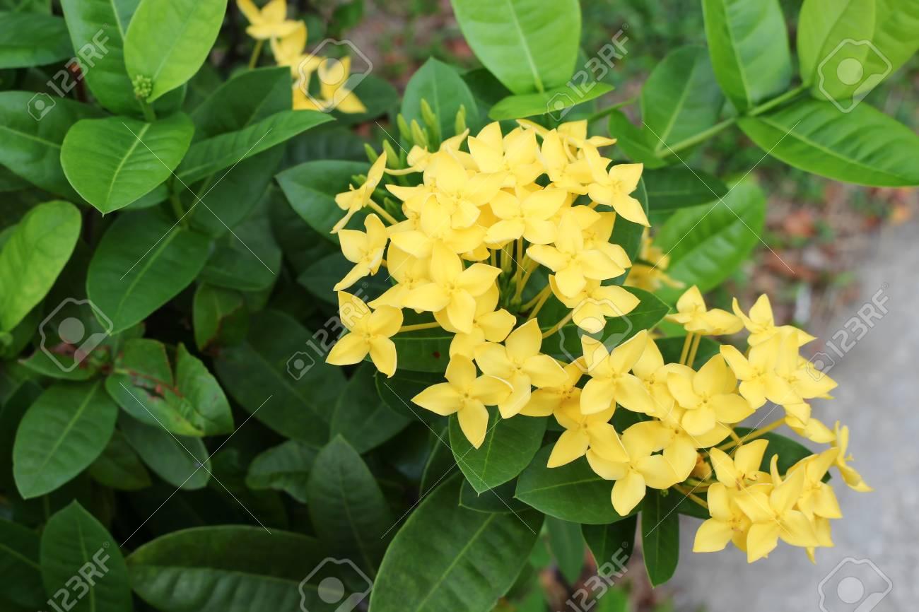 Fiori Gialli Giardino.Immagini Stock Spike Di Fiore Giallo Rubiaceae In Un Giardino