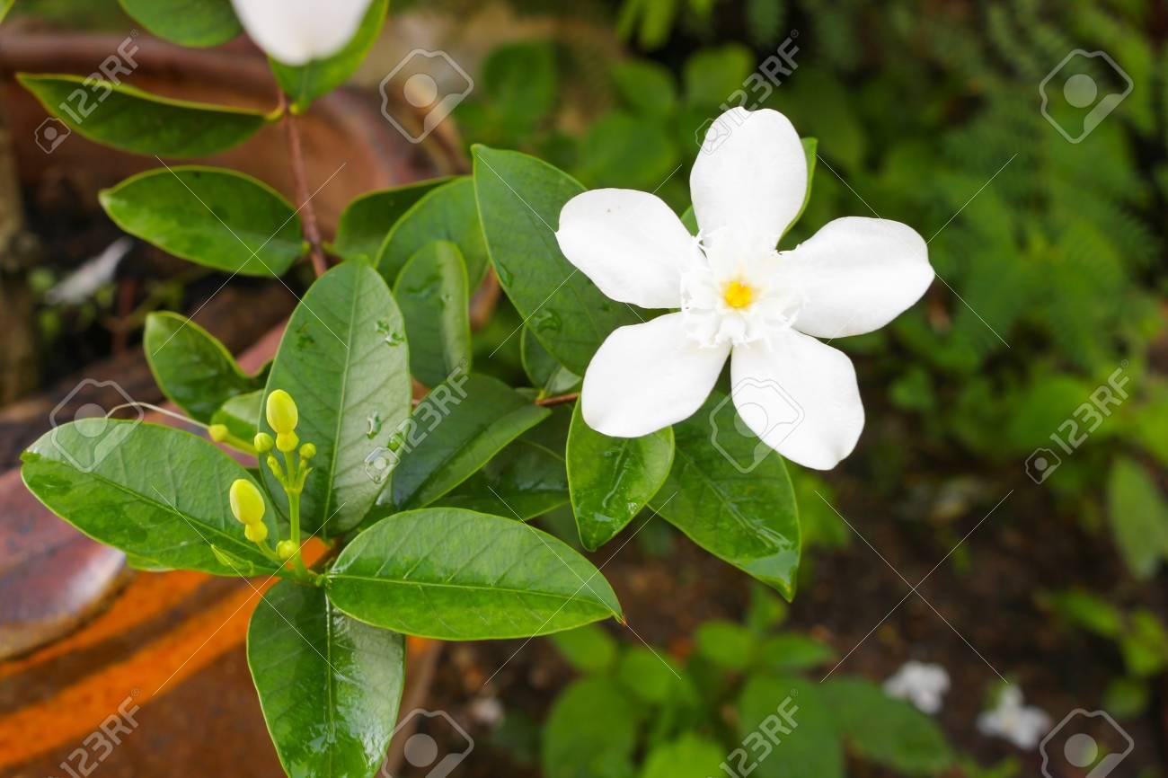 Cosmetic Bark Tree Or Inda Orange Jessamine Satin Woodwhite