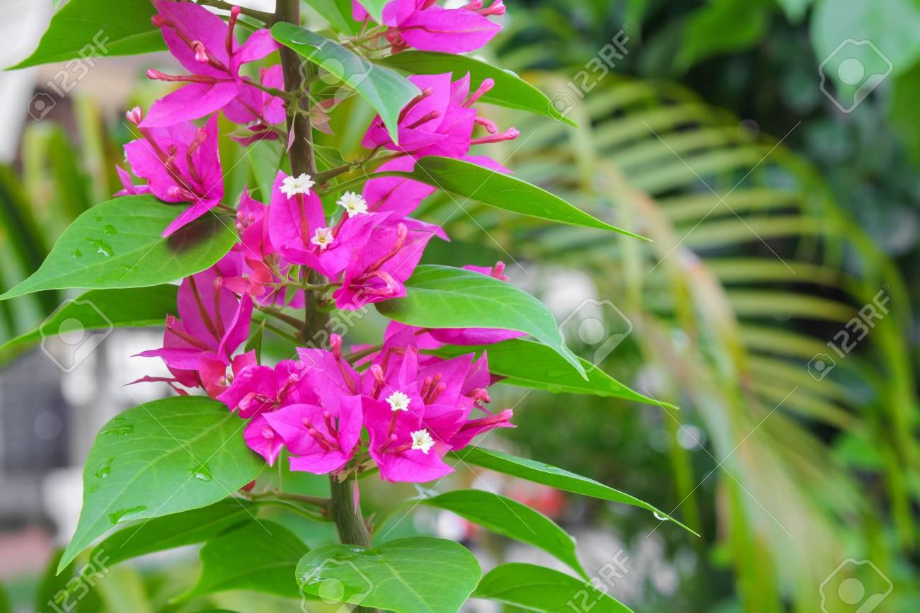 Bougainvilleapaper flower purple beautiful natural in garden stock bougainvilleapaper flower purple beautiful natural in garden stock photo 72336804 mightylinksfo
